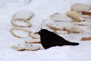 blackbird bread sonw winter