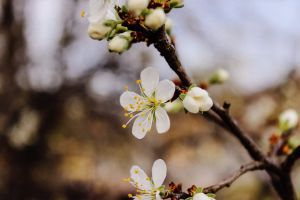 blooming branch depth of field garden blossom season cherry blossom tree growth close-up