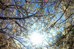 blossom flowers ray of sunshine blue sky bushes trees branches
