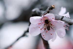 blur cherry blossom blooming bloom blossom insect growth colors close-up wings