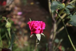 blurred background flower rose