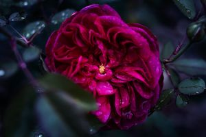 blurred background rain drops rose bloom drop of water red rose blooming flora water dark green