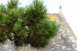 botanique aiguilles vert pin arbre branche ã©picã©a nature