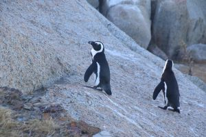 boulders beach ocean south africa penguins animals cape town nature cute