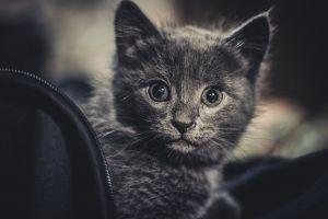 cat feline pet little adorable domestic cat cute kitten mammal animal