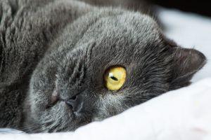 cat kitten feline british shorthair adorable pet kitty eye mammal cute