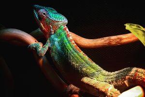 chamaeleon reptiles animal