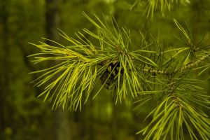close pine cones branch mountain pine tree needles green forest nature pine branch