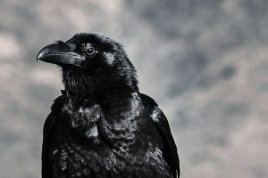 close-up black-and-white black raven side view feathers eye animal portrait crow