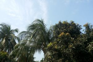 coconut nature mango natural sky beauty