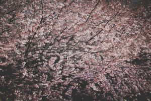 color cherry flora branch cherry blossom tree flowers colors flower