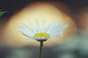 daisy sunset white