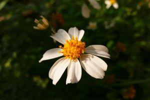 daisy white daisy springtime flower spring flower field of flowers white white flower