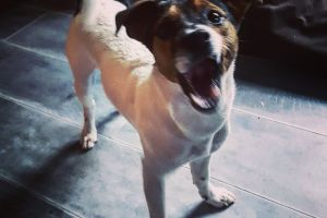 dog jack russell pet animal canine doggystyle