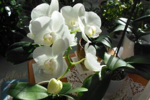 elegance white orchid blooming beautiful house plant