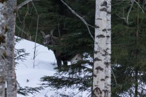 elk forest moose winter