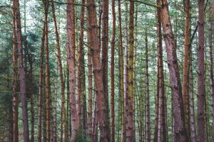 evergreen woods environment forest bark tall trunk conifer pine tree