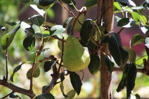 farm explore south africa eat pear taste wine farm winelands nature flowers