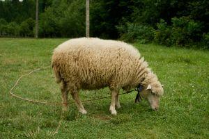 farm livestock animal grassland farmland grass ewe sheep mammal