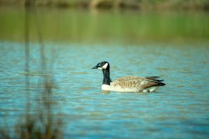 feather goose blur depth of field wild animal animal photography wildlife nature water environment