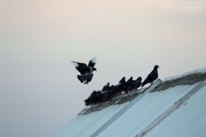 feathers animal dove row rest wings roof flock of birds