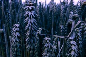 field wheat grass farm