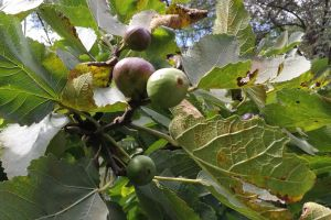 fig green fruit tree