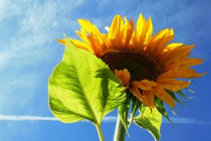 flora blossom bloom hd wallpaper flower petal season summer sunflower plant