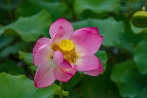 flora lotus yellow purple waterlily flower petals