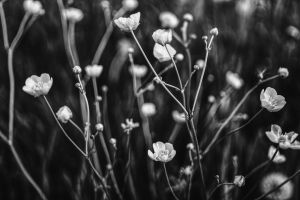 flower buds bloom blooming garden blossom black and white white botanical close-up petals