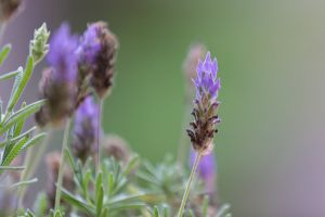 flower lavender lavender (flower)