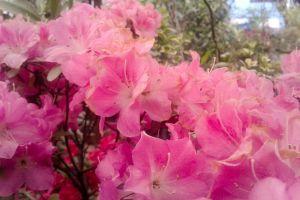 flower nepal natural beauty royalgcorps