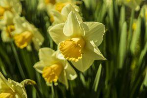 flowers closeup daffodil petals bloom blossom macro narcissus macro harbinger of spring springtime nature