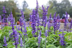 flowers garden purple