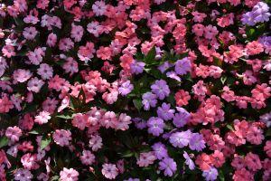 flowers purple bush