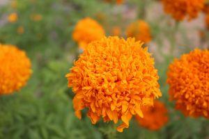 flowers spring flower longevity flower