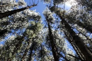 forest scenic blue sky pine environment woods nature trees daytime sunlight