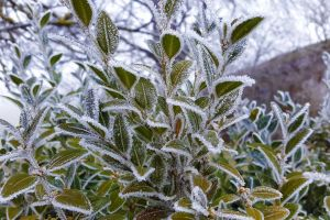 frozen plant wintry iced green white crystals nature cold ripe