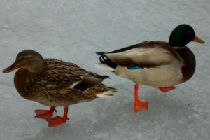 frozen pond animal ice