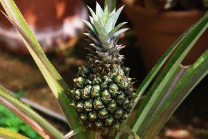 fruit pineapple eat taste farm garden winelands south africa nature trees