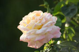 garden flower garden rose tree rose