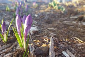 garden flower purple