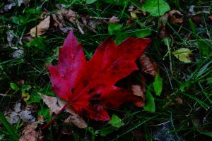 green canada red maple leaf grass