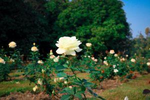 green flower garden hd wallpaper raana photography white rose tree dextop flower rose garden