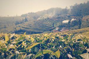 green tea garden india beautiful