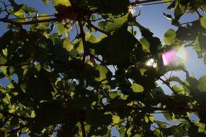 green wine nature wine farm fruit sunbeam grapes