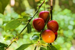 grow freshness fresh red growth apples branch tree fruits close-up