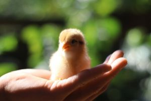 hand life chicken animal safe work