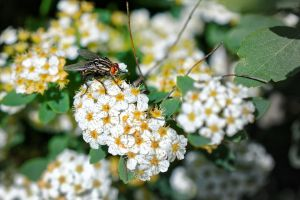 house fly on white flowers house fly close-up view flowers insect nature blurred background