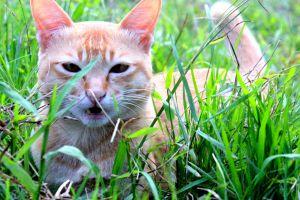 #hunting #macro nature #cat #grass